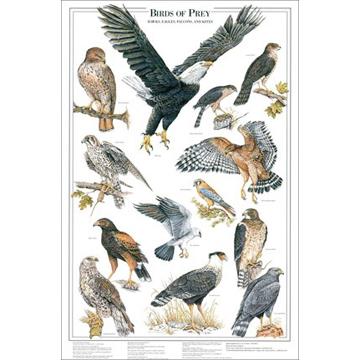 Western Sporting Birds Of Prey Poster 1 Shows 13 Raptor Species Of North America