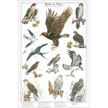 Western Sporting Birds Of Prey Poster 2 Further 12 Raptors Of North America